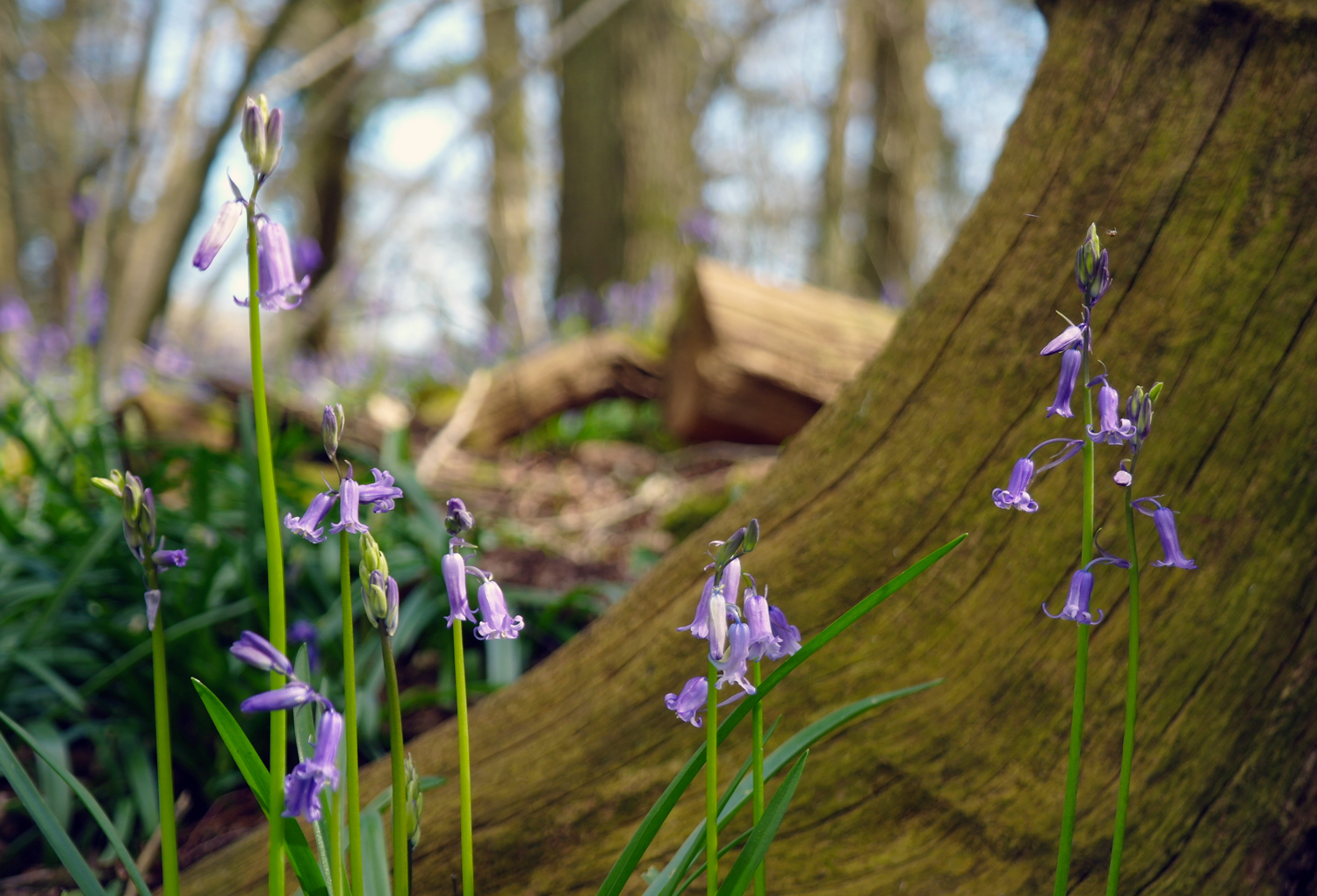 English bluebells in a bluebell wood on the Kingston Lacy estate, Dorset, England.