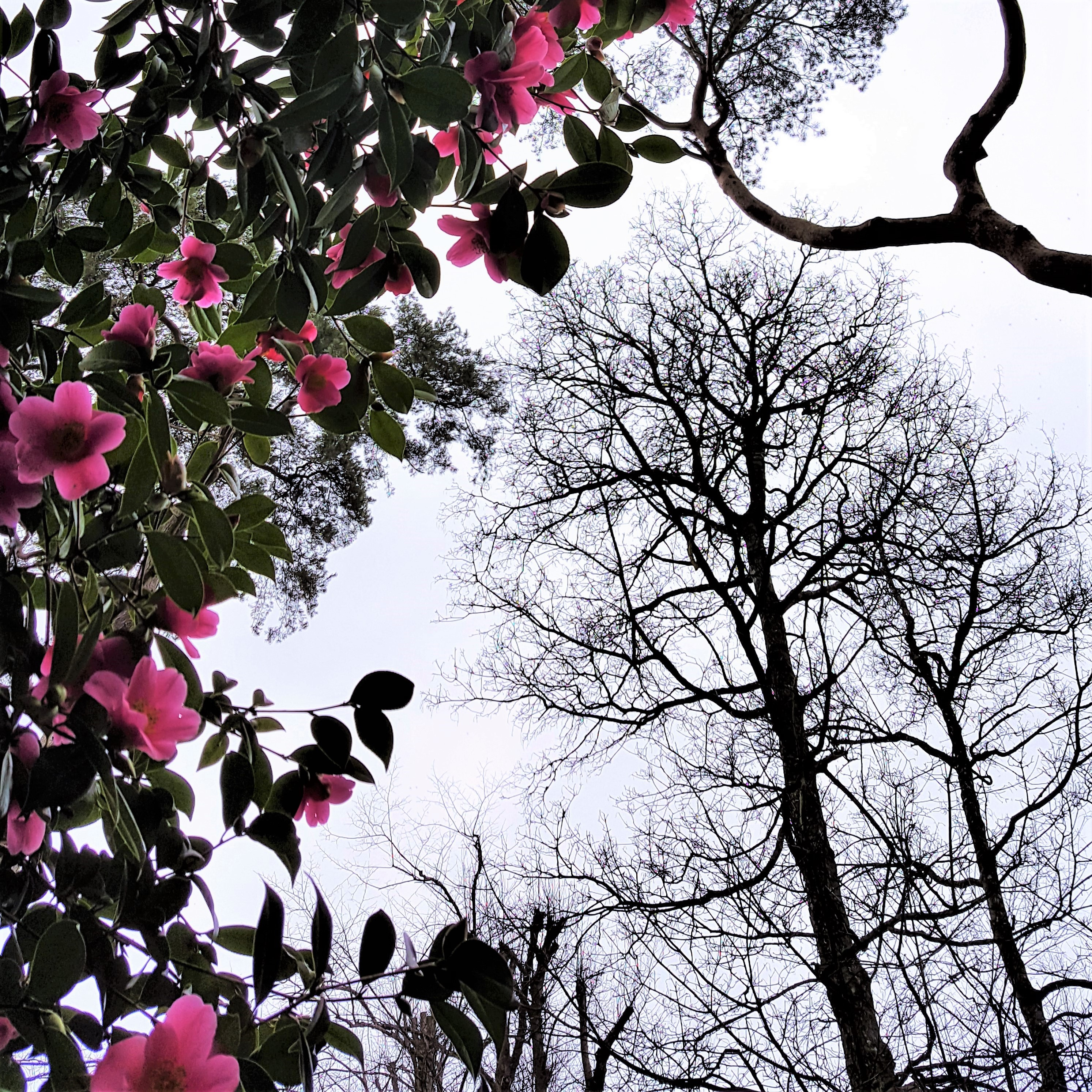 Pink camellias and tree silhouettes in winter.